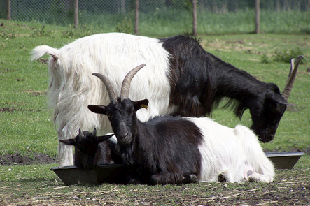 I have named these valais goats Bele and Lokai