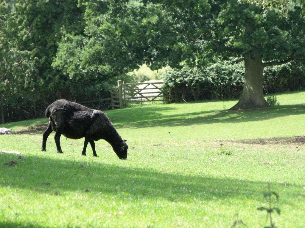 A black sheep in a field
